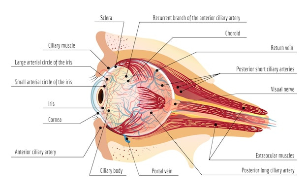 Human eye ball infographic, cartoon style