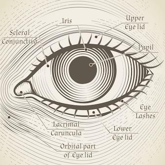 キャプション付きの人間の目のエッチング。角膜、虹彩、瞳孔。本、百科事典の目の部分に名前を付ける