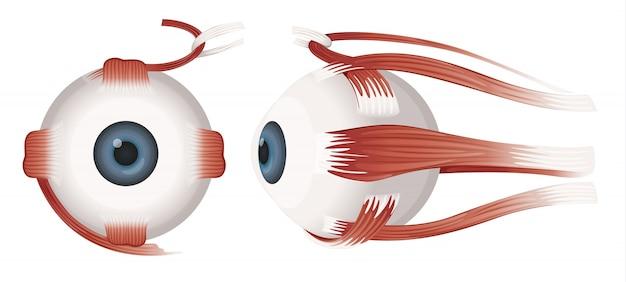 Профили человеческого глаза