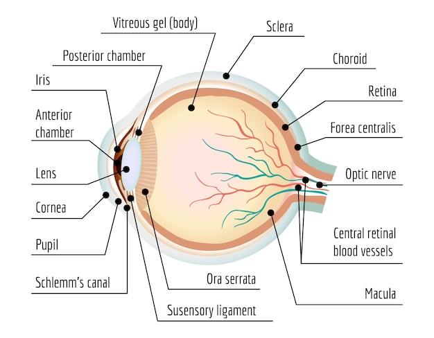 Human eye section infographic, cartoon style