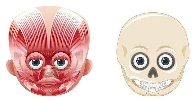 人間の顔の解剖学と頭蓋骨