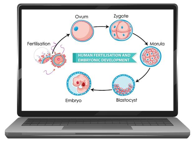 Human fertilisation and embryonic development