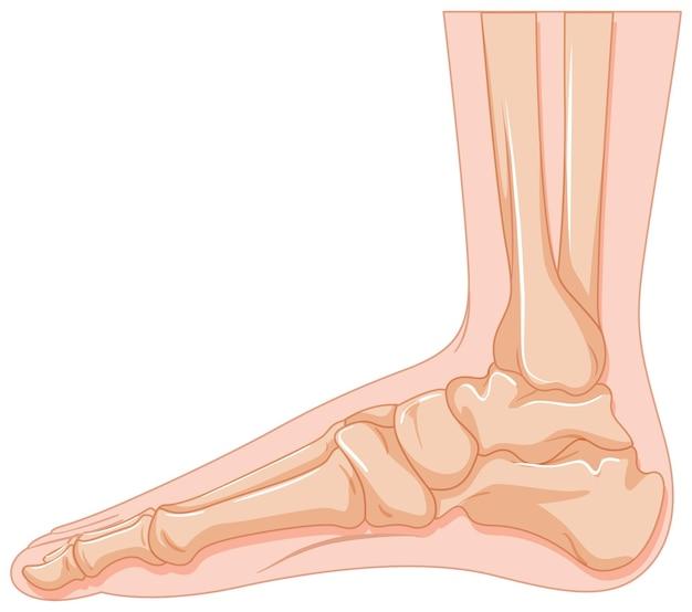 白い背景の上の人間の足の骨