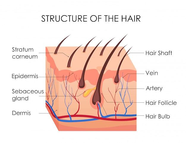 인간의 머리카락 다이어그램. 인간의 피부와 흰색 배경에 머리카락의 모든 구조의 조각. 대머리의 치료, 제모 개념.