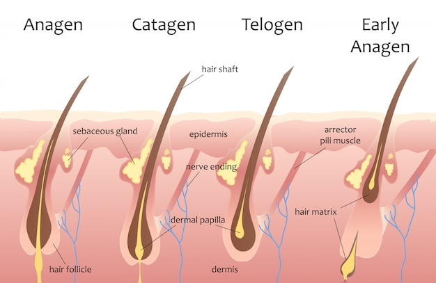 Human head hair growth cycle