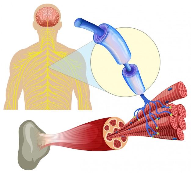 人間の健康な筋肉の神経