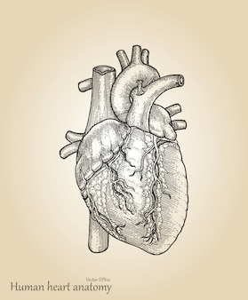 Human heart amatomy.heart hand drawing vintage style