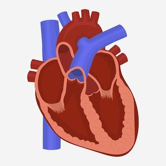 Human heart anatomy, science medicine healthcare