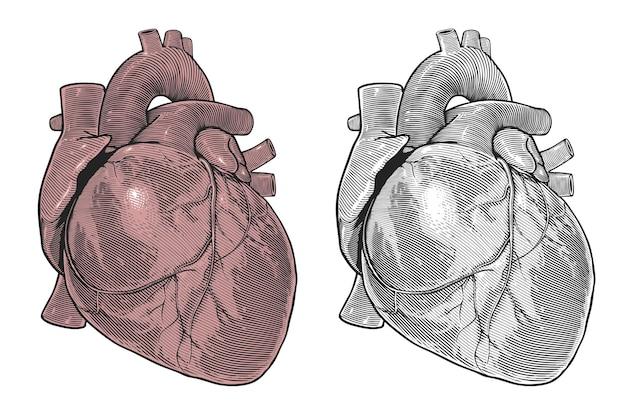 Человеческое сердце в стиле винтажной гравюры