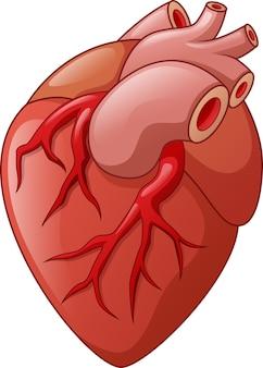 Human heart isolated