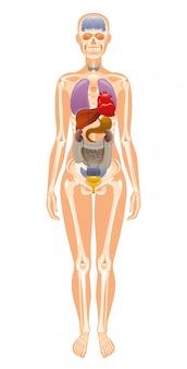 人間の内臓と骨格の解剖学。