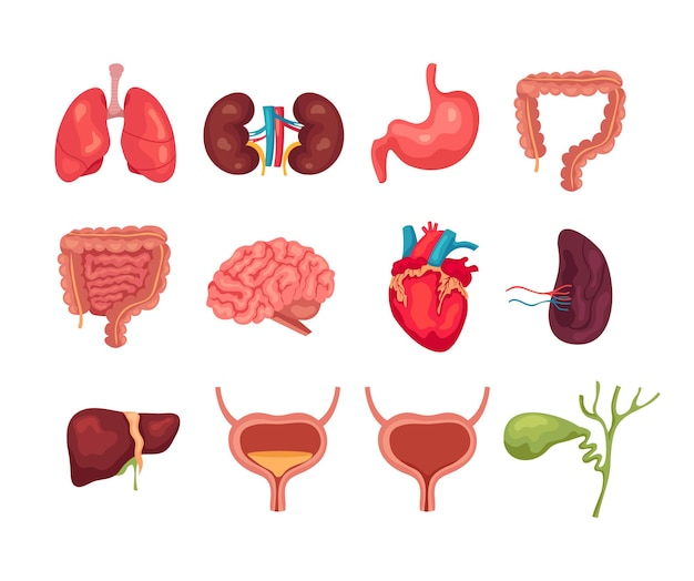 Human internal organs isolated set collections.
