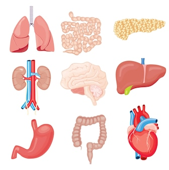 Human internal organs isolated on white. set with heart intestines kidneys stomach lungs brain liver pancreas.