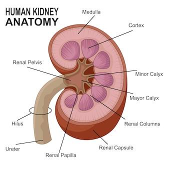 Анатомия почек человека