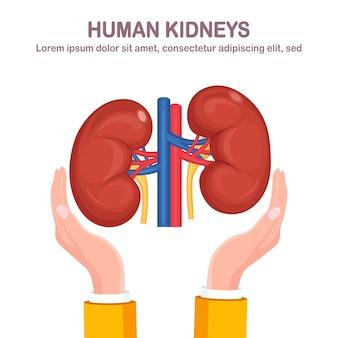白い背景で隔離の医師の手の動脈と静脈を持つ人間の腎臓。寄付臓器。内臓の解剖学、医学。患者のためのボランティア援助