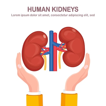 Human kidneys with artery and vein in doctor hand isolated on white background. donation organs. anatomy of internal organs, medicine. volunteer aid for the patient