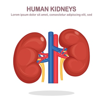 Human kidneys with artery and vein isolated on white background. anatomy of internal organs, medicine. flat design