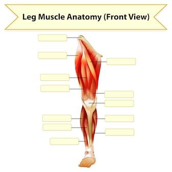 人間の脚の筋肉の解剖学ワークシート
