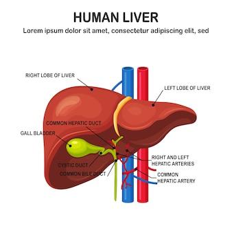 白い背景で隔離の人間の肝臓