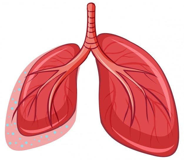 흰색 배경에 인간의 폐