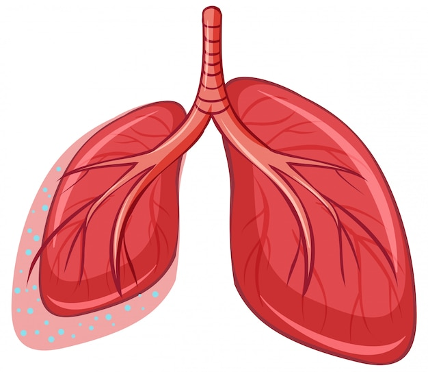 Human lung on white background