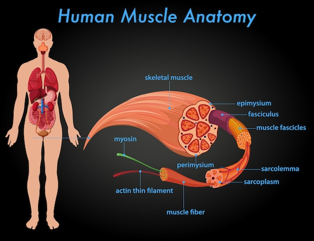Human muscle anatomy education