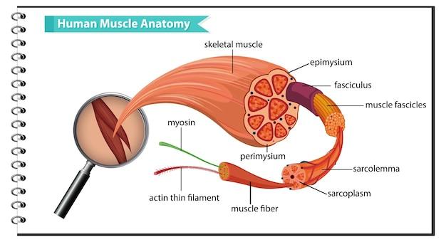 体の解剖学と人間の筋肉の解剖学 無料ベクター