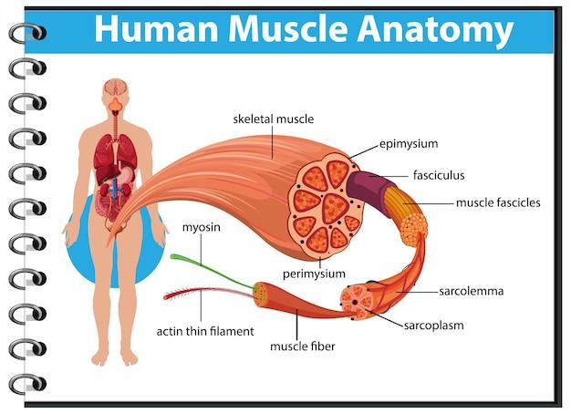 Анатомия мышц человека с анатомией тела