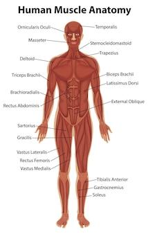 신체 해부학과 인간의 근육 해부학