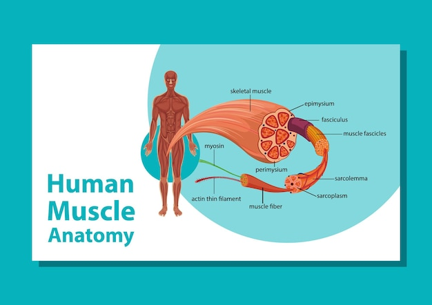 体の解剖学と人間の筋肉の解剖学