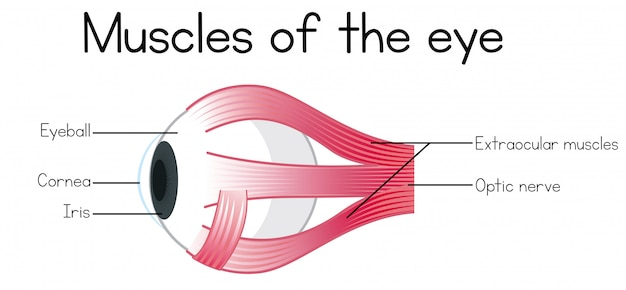 Human muscles of the eye