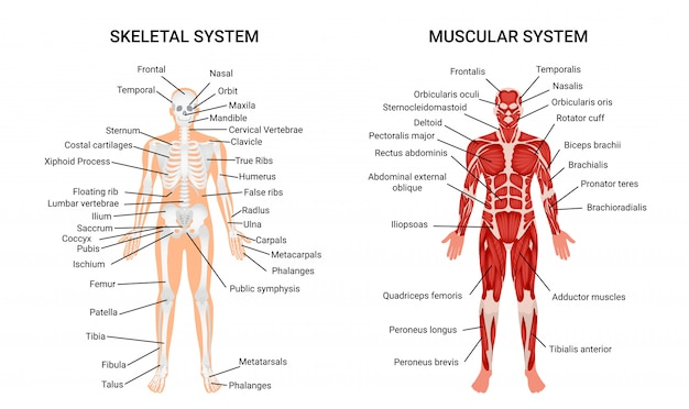 Human muscular skeletal systems, informative poster