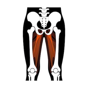 人間の筋肉系と骨格の解剖学的ポスター。大内転筋、寛骨