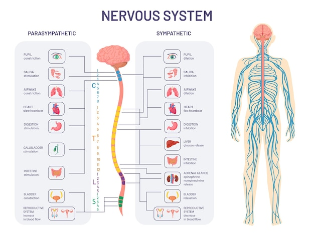 인간의 신경계. 교감 및 부교감 신경의 해부학 및 기능. 척수는 신체 내부 장기 벡터 다이어그램을 제어합니다. 삽화 해부학 생물학 신경