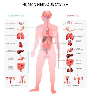 Diagrammi informativi parasimpatici simpatici del sistema nervoso umano con rappresentazione di organi e terminologia anatomica educativa realistica