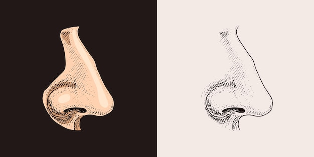 Human nose sense organ anatomy illustration engraved hand drawn in old sketch and vintage style face