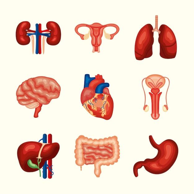 Набор человеческих органов