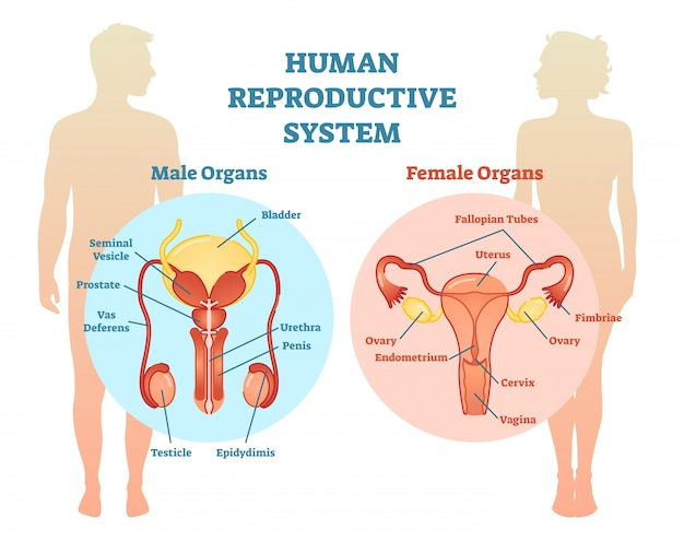 Human reproductive system vector illustration diagram.