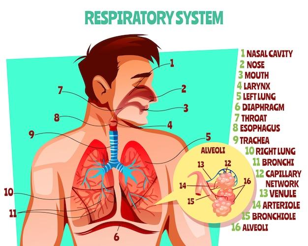 인간의 호흡기 그림. 폐를 가진 남자 몸의 만화 의료 디자인 무료 벡터