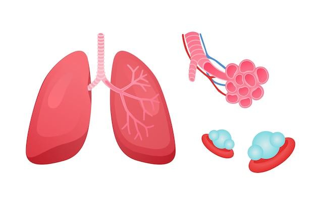 인간 호흡기 시스템 폐 구조 폐 세기관지 및 모세 혈관 네트워크가있는 폐포