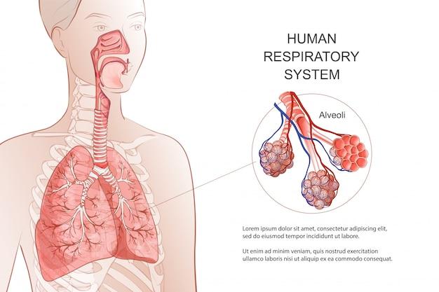 人間の呼吸器系、肺、肺胞。医療図。喉頭内の鼻腔の解剖学。息、肺炎、煙。解剖学のイラスト。医療と医学のインフォグラフィック。