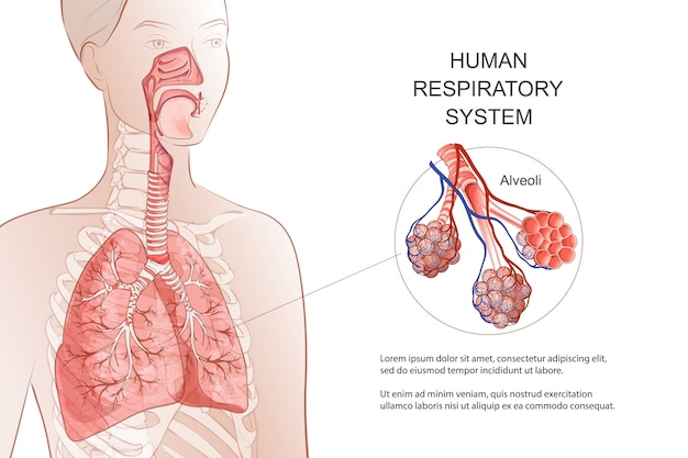 Human respiratory system, lungs, alveoli. medical diagram. inside larynx nasal throttle anatomy. breath, pneumonia, smoke.  anatomy illustration. healthcare and medicine infographic.