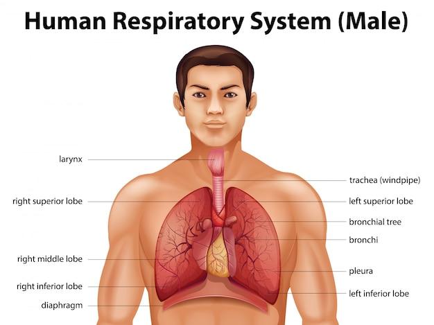 인간 호흡기 시스템