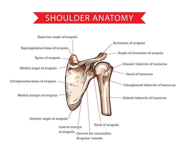 肩甲骨と上腕骨のスケッチ、医学と医療による人間の肩の解剖学。上腕骨の頭と三角筋結節、肩甲骨の骨格構造を持つ肩の骨格図