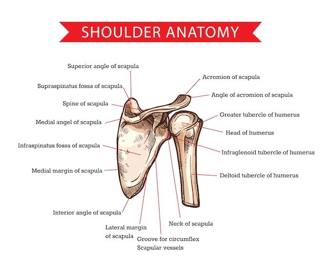 Human shoulder anatomy with  sketch of scapula and humerus bones, medicine and health care . shoulder skeleton diagram with head and deltoid tubercle of humerus, scapula skeletal structure