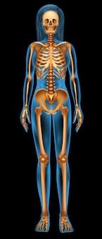 人間の骨格系