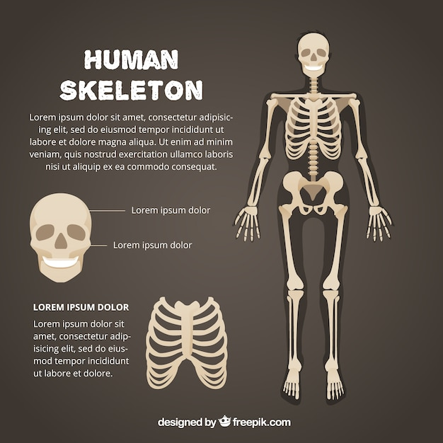 skeleton vectors photos and psd files free download rh freepik com skeleton vector art skeleton vector illustration free