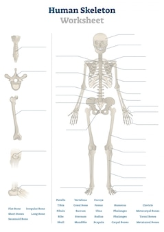 Human skeleton worksheet illustration