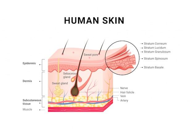 人間の皮膚の層構造のスキンケア医療コンセプト