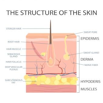 人間の皮膚構造、表皮の解剖学。